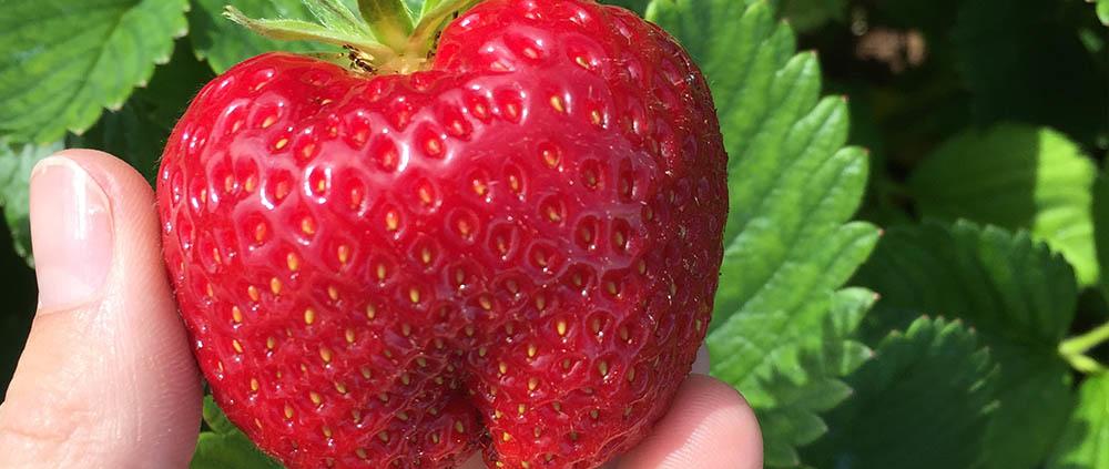 Die ersten Erdbeeren 2019 sind reif.