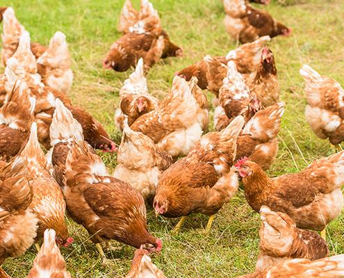 Hühner vom Hornbrooker Hof